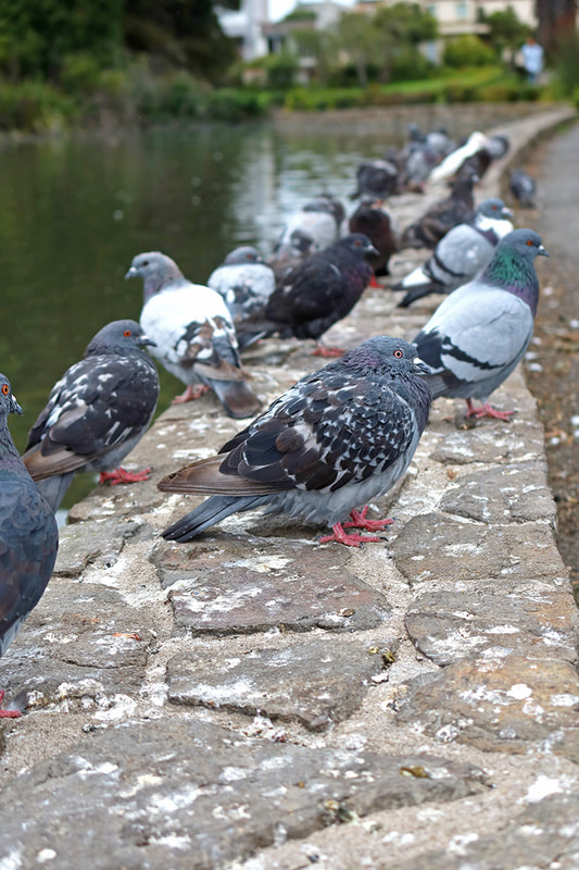 pigeons sitting on side of pond