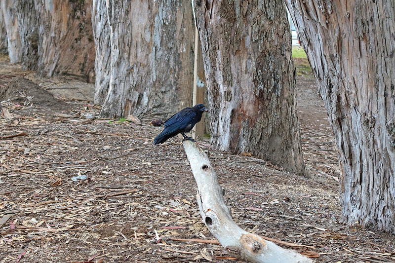 raven and Eucalyptus trees