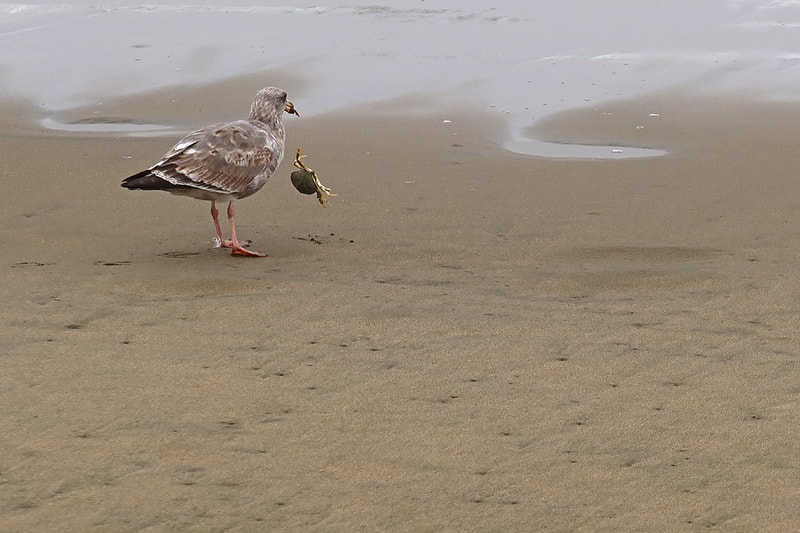 crab being eaten by seagull