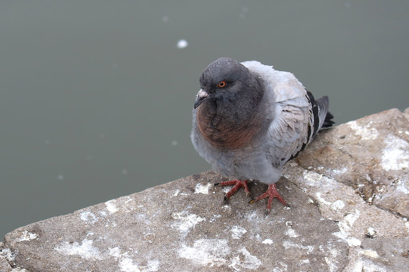 pigeon sitting next to pond