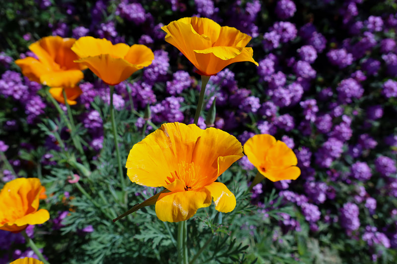 CA poppies