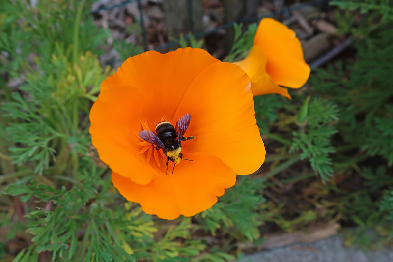 bumble bee in CA poppy