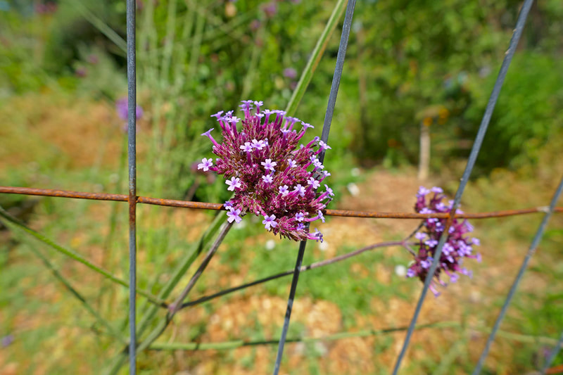 purple flower leaning on wire fence