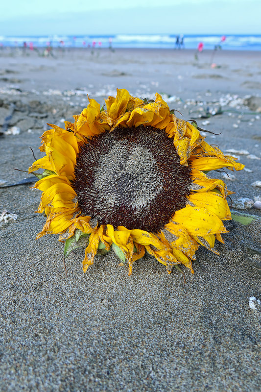 sunflower in sand