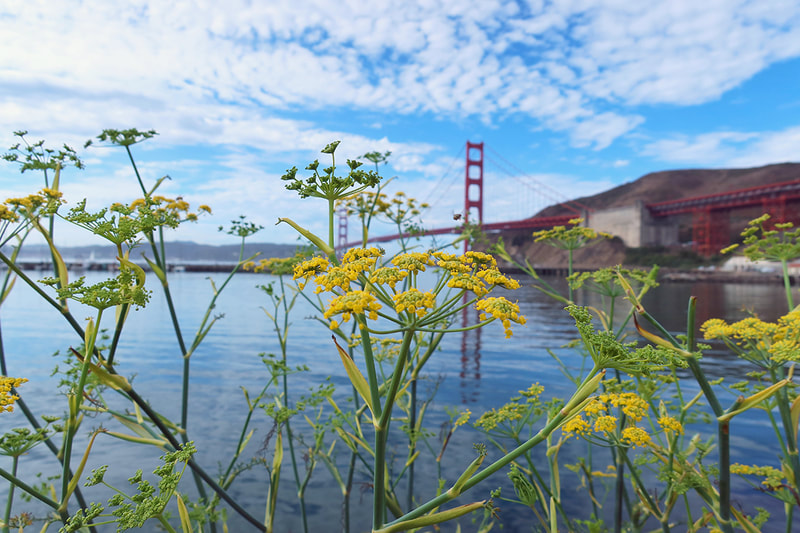 Yarrow in front of Golden Gate Bridge