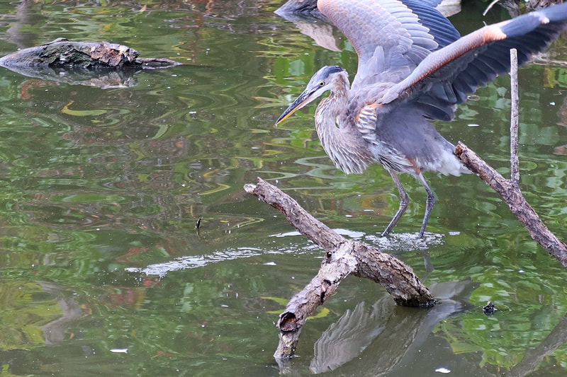 great blue heron with wings up